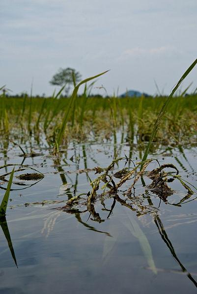 submerged rice plants