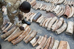 KENYA-WILDLIFE-POACHING-IVORY
