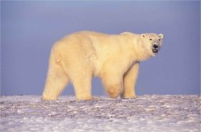 800px-Polar_bear_in_Arctic_Alaska