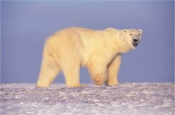 800px-Polar_bear_in_Arctic_Alaska