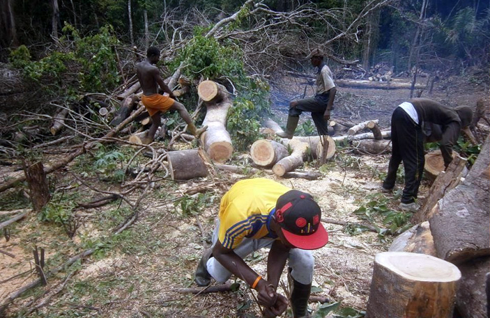 Fresh tree cuts for agriculture and wood in Nkongsamba, West region of Cameroon