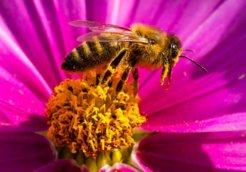 Bees on Blossoms in GermanyBiene auf einer Bluete