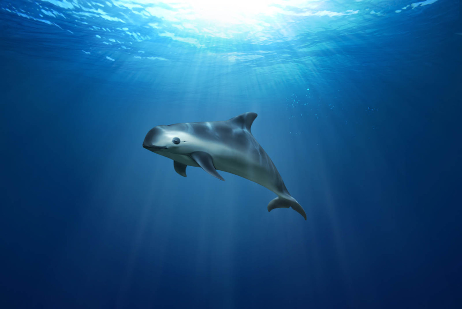 Drawing of a vaquita