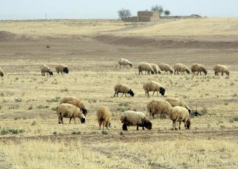 drought syria sheep