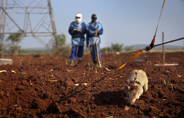A HeroRat detects mines.