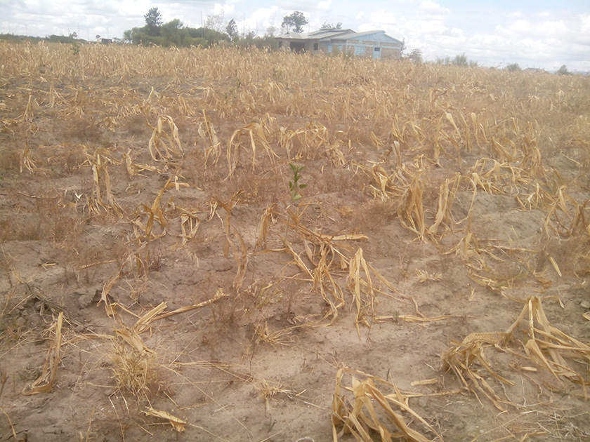 Part of Teresia Kimuhu\'s land that no longer produces any substantial yields.
