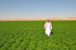 Al-Fawaz Feld mit Bio-Karotten