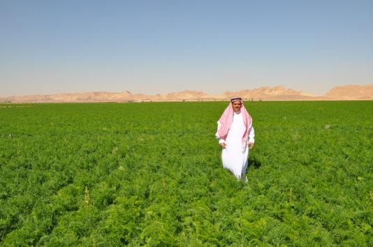 A field with tomatos in Al-Fawaz