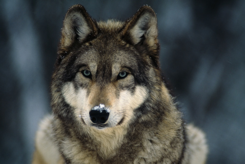 wolf_IFAW