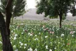 poppy afghanistan